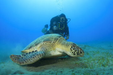 Green Sea Turtle and woman Scuba Diver