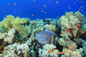 Yellowbar Angelfish on coral reef in Red Sea