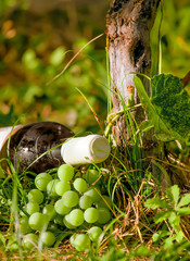 wine bottle and grape harvest