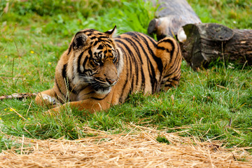 Wall Mural - Sumatran Tiger Lying Down on the Grass