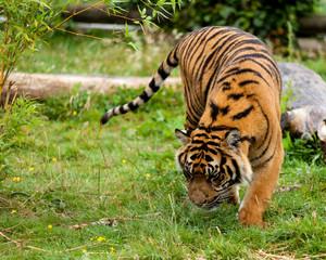 Wall Mural - Young Sumatran Tiger Sniffing Wet Grass