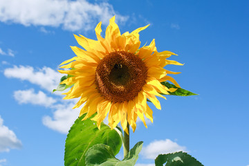 Beautiful sunflower against a blue sky