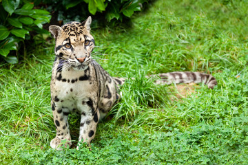 Wall Mural - Clouded Leopard Stitting on Grass Pensive