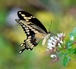 Giant Swallowtail butterfly (Papilio cresphontes) feeding on white wildflowers
