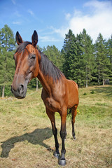 cute Brown horse taken with wide angle