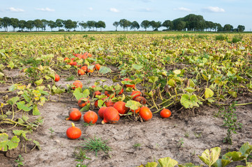 Field with harvested orange pumpkins in a row