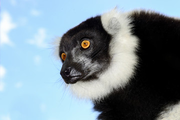 black-and-white ruffed lemur, lemur island, andasibe
