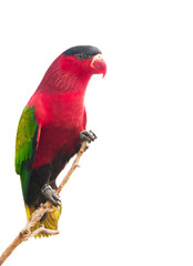 Red parrot isolated on white