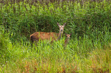 Red Deer hind and calf