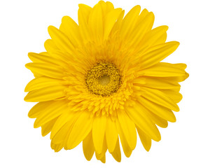 yellow gerbera isolated