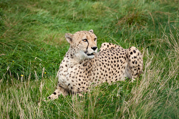 Wall Mural - Cheetah Lying Down in Long Grass