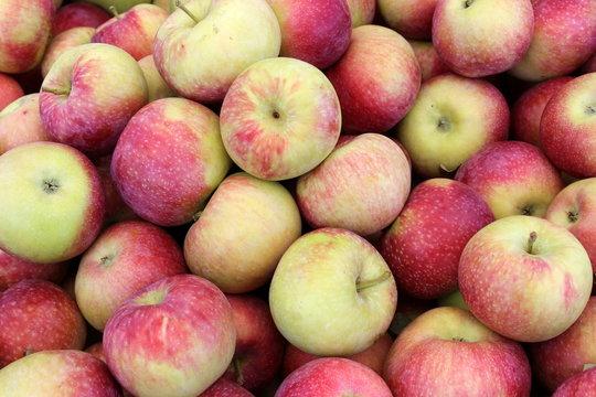 Harvest of crisp colorful early macs