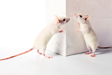 rats and white bag