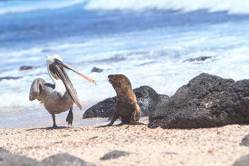 Baby Sea Lion and pelican, Galapagos Islands