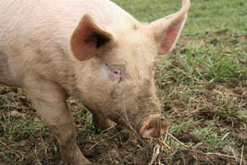 Farm animal - pig in field-grown raising