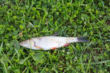 the caught fish (Leuciscus idus)