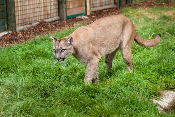 Wall Mural - Puma Stalking Through Enclosure