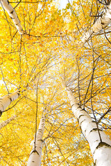 Wall Mural - Autumn trees with yellowing leaves against the sky