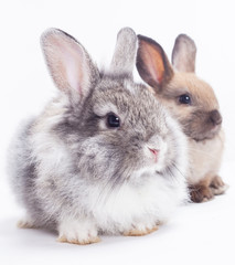 Two rabbits