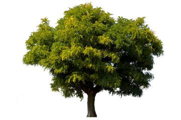 Single green acacia tree isolated on white background