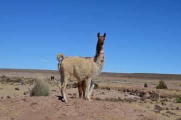 lamas of bolivia