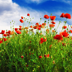 Wall Mural - poppies field