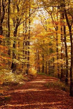 Ein Wanderweg in einem herbstlichen Buchenwald