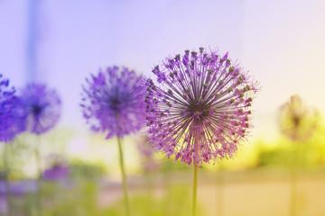 Aluminium Prints Purple Flowering Onion