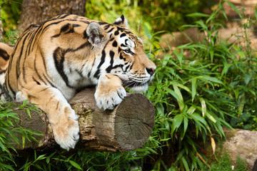 Obraz Tygrys syberyjski - fototapety do salonu