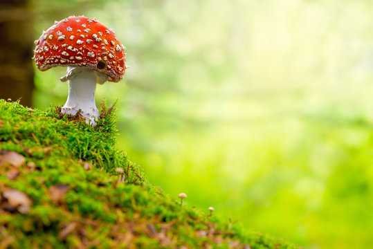 Fly Agaric or Toadstool in the forest