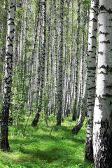 Foto op Canvas Berkbosje birch grove