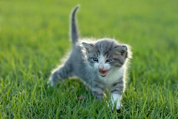 Baby Kitten Outdoors in Grass