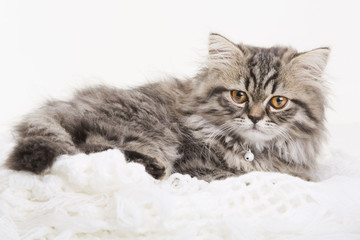 Lovely persian kitten lying on white shawl