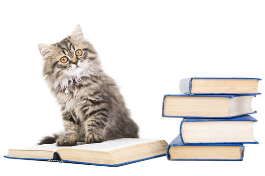 persian kitten reading books on isolated white