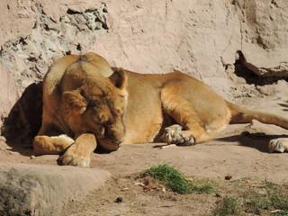 Löwe 2