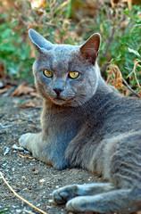 Gray cat looks ahead