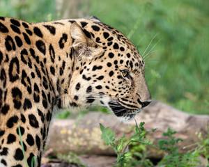 Wall Mural - Side View Head Shot of Beautiful Amur Leopard