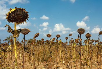 bad harvest of sunflower, drought