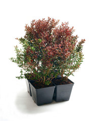 Barberry ( Berberis Jytte ) isolated