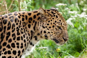 Wall Mural - Profile Head Shot of Back Lit Amur Leopard