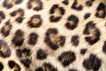 Wall Mural - Real Live Leopard Fur Skin Texture Background