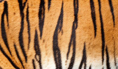 Wall Mural - Real Tiger Fur Texture Striped Pattern Background