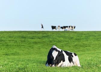 Holstein dairy cow resting on grass