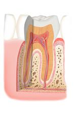 Zahn im Querschnitt