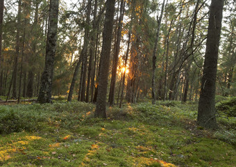 Spruce forest, Dalarna, Sweden