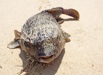 puffer on the beach