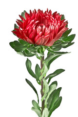 aster red flower