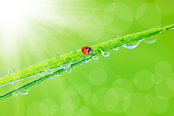 Green grass with dew drops and ladybird