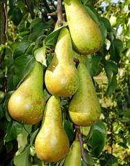 Reife Birnen - Pears