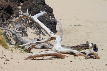 """Hawaii: """"Strandgut"""" - verdorrte Bäume an einem Strand von Big Island"""